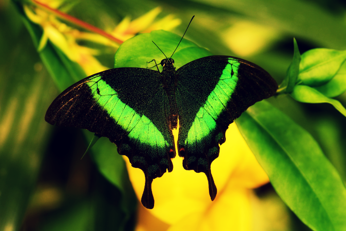smaragdine-emerald-swallowtail-butterfly-via-lawhimsy