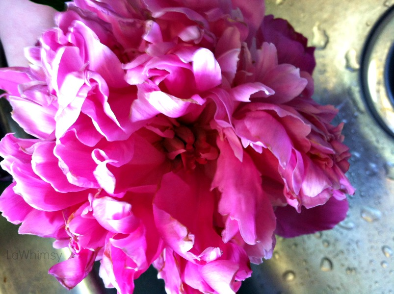 bright burst peony by lawhimsy