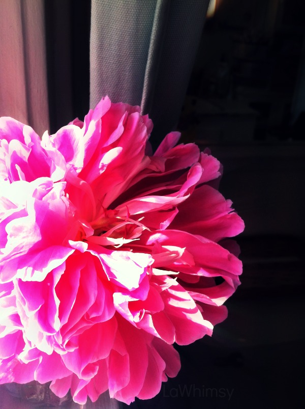 bright pink peony by lawhimsy