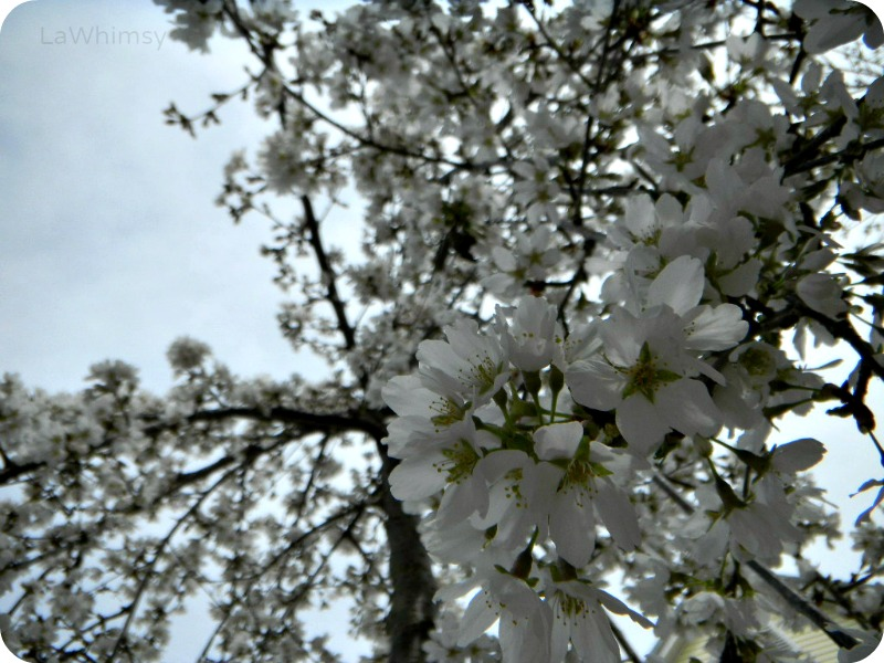 CherryBlossoms2014 by lawhimsy