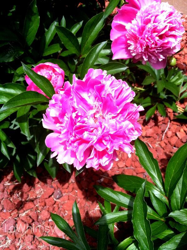 peony pop bush by lawhimsy