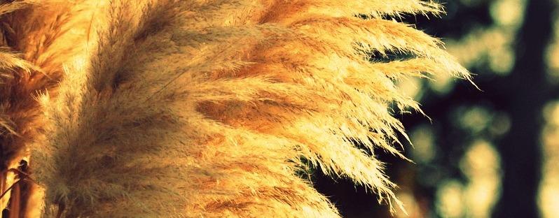 plumose pampas via lawhimsy