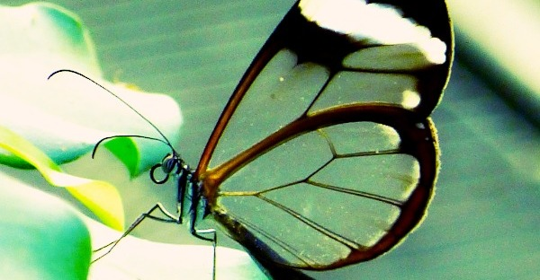 vitreous glassy butterfly wings via lawhimsy