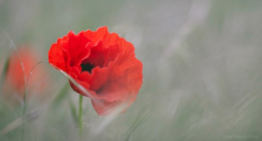 nepenthe poppy flower sweet dreams forever after image crop via LaWhimsy